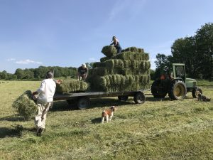 people loading hay on wagon with dogs