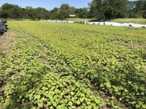 cover crop on vegetable farm