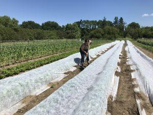 Woman farmer securing row covers on vegetable farm